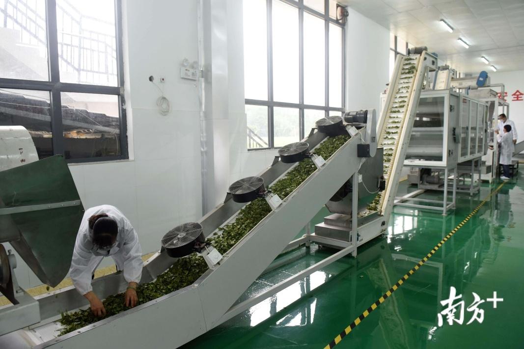 省定贫困村博罗三水村,引进全自动茶叶生产线助农脱贫。梁维春 摄