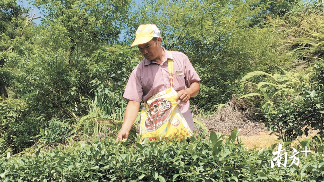 茶山生态茶园聘请当地村民务工,助村民增收。 鹤山古劳镇提供