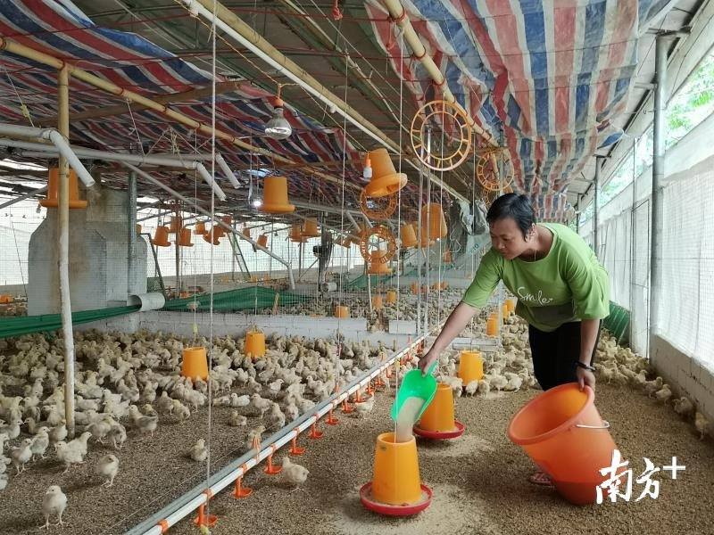 贫困户通过养鸡顺利脱贫奔康。图为郁南县平台镇平台村综合种养小区。李嘉怡 摄
