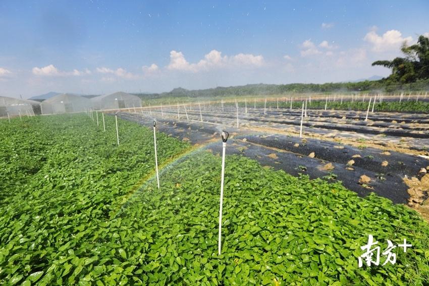 清新区龙颈镇中振智农科技有限公司,采用智能自动灌溉技术。梁素雅 摄