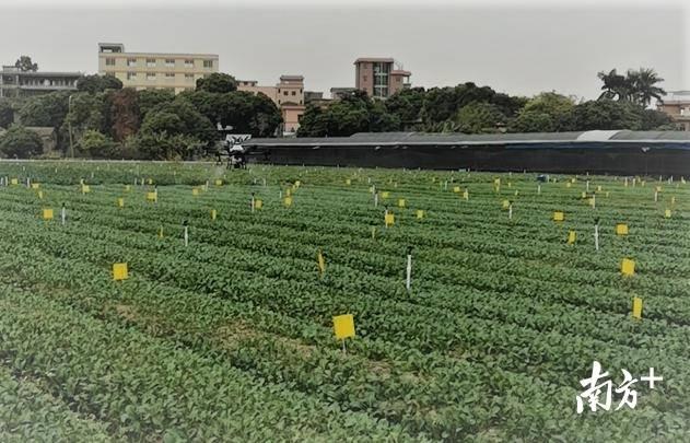 无人机在蔬菜上的防控试验。