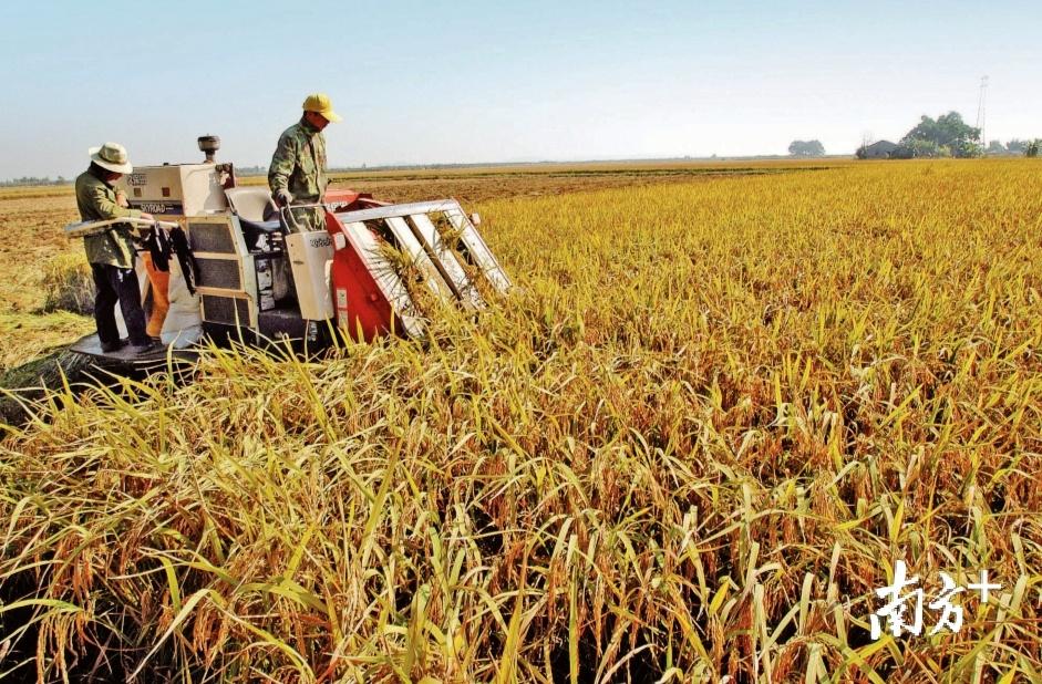 改革开放后,汕头采取得力措施抓紧抓好粮食生产。张伟炜 翻拍