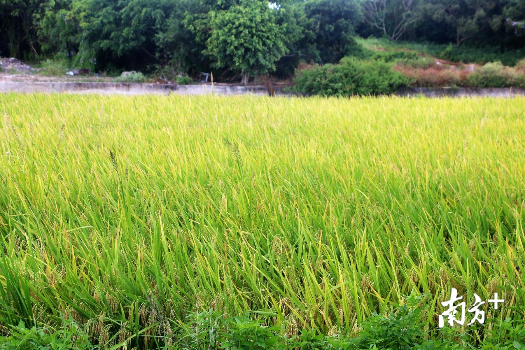 潮汕地区向来拥有得天独厚的自然条件,这里气候温和,土地肥沃,适宜多种作物生长。张伟炜 摄