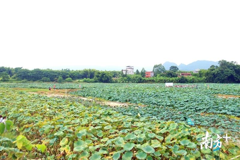 今年大塘村80亩莲藕迎来了丰收。陈咏怀 摄