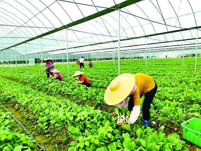 祖塘村大棚蔬菜种植项目带动贫困户就业。