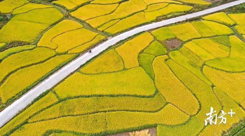 优良品种助力,始兴十万亩水稻丰收在望