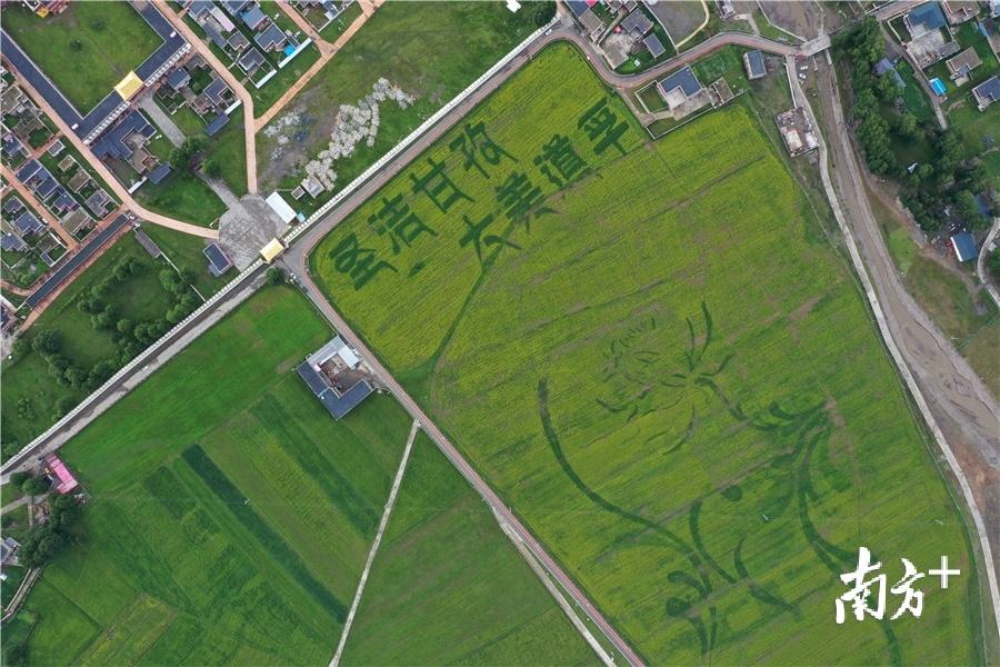 """惠州参与援建的道孚县美德农业园,大面积种植莴笋,走""""农旅结合""""之路。道孚县供图"""
