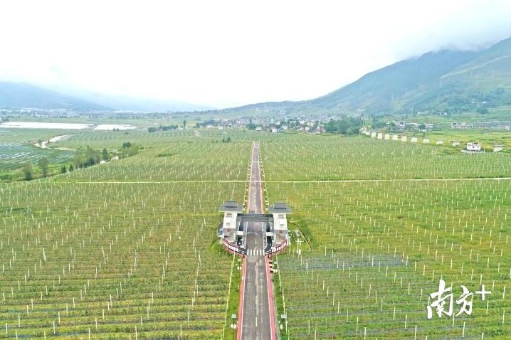 整齐划一的越西县现代农业产业园大瑞苹果基地。戴嘉信 摄