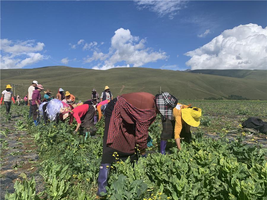 在道孚美德农业园,村民通过采摘莴笋增收致富。