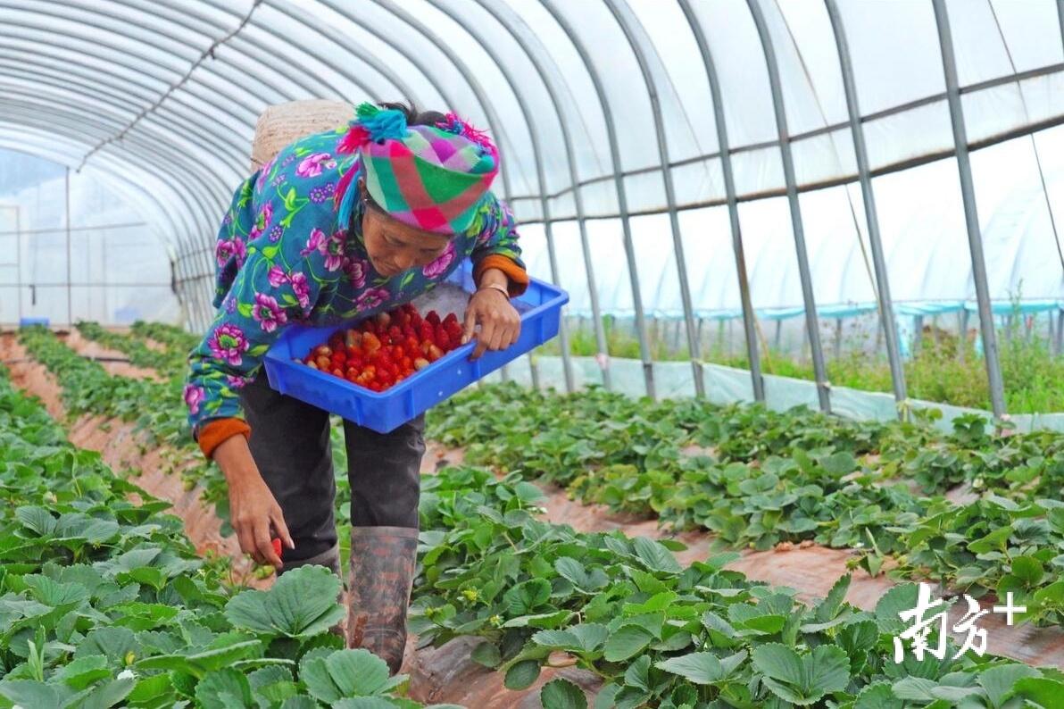 昭觉县九如草莓园,村民在采摘成熟的草莓。田人心 摄
