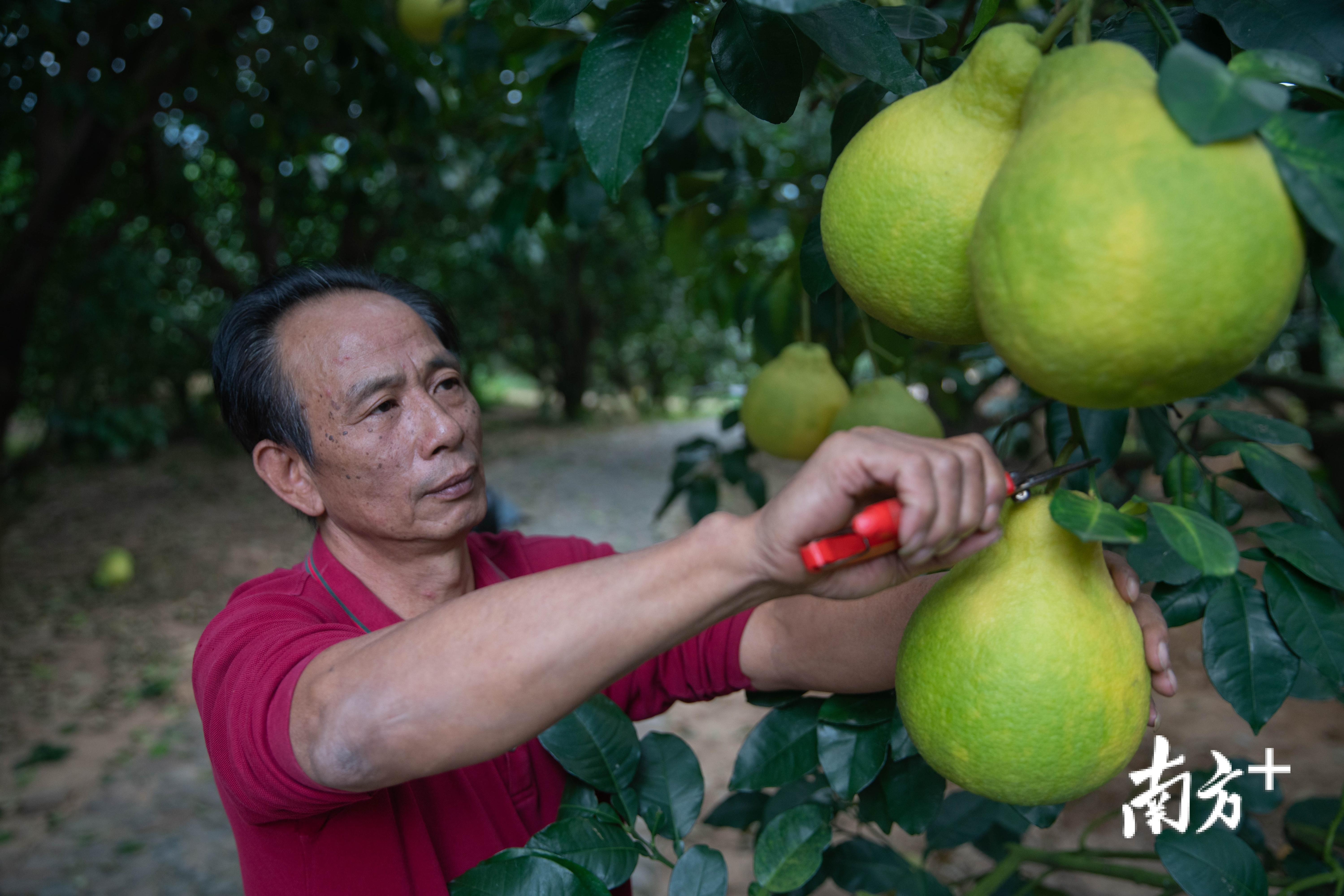 大黄村村民廖江洪在采摘金柚