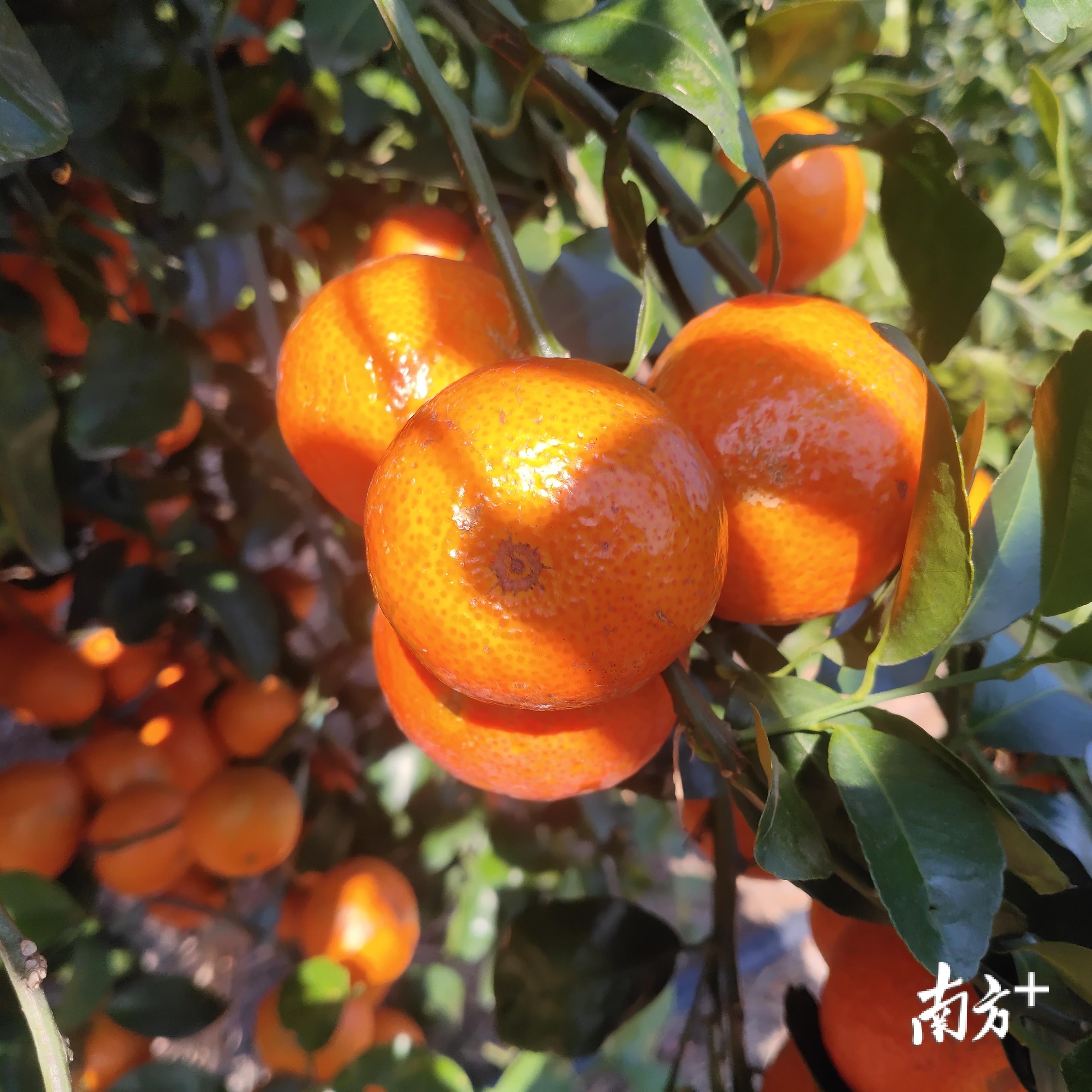 黄灿灿的砂糖桔悬挂枝头。陈海兰 摄