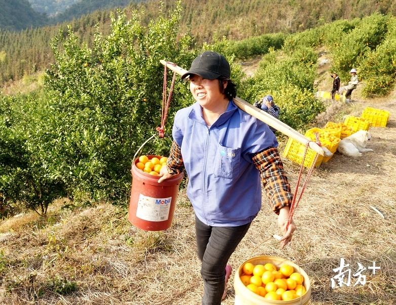 在陈秀利的果园里,处处可见农户采摘忙碌的身影。通讯员供图