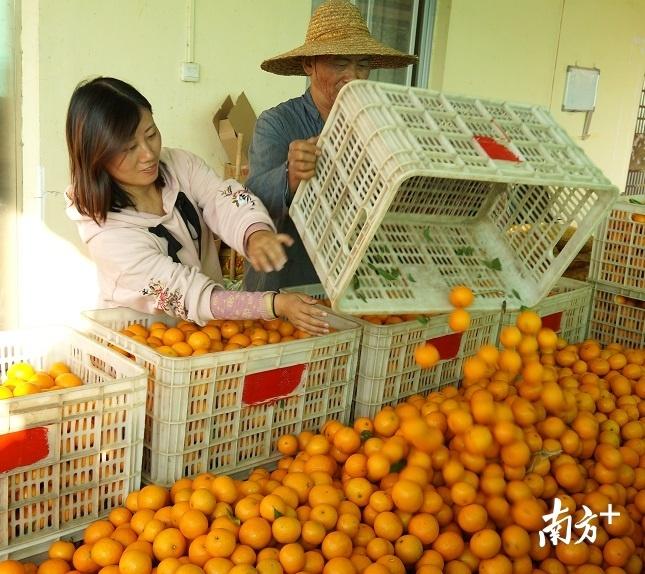 脆酸柔爽、汁多味甜、晶莹透亮的柑橘。通讯员供图