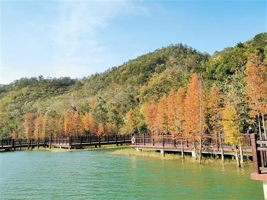 绣红色的杉树将新会石涧公园的景色装扮得光彩夺目。