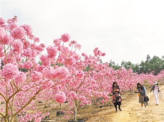 紫花风铃木在暖阳中盛放,让许多到来的游客流连忘返。