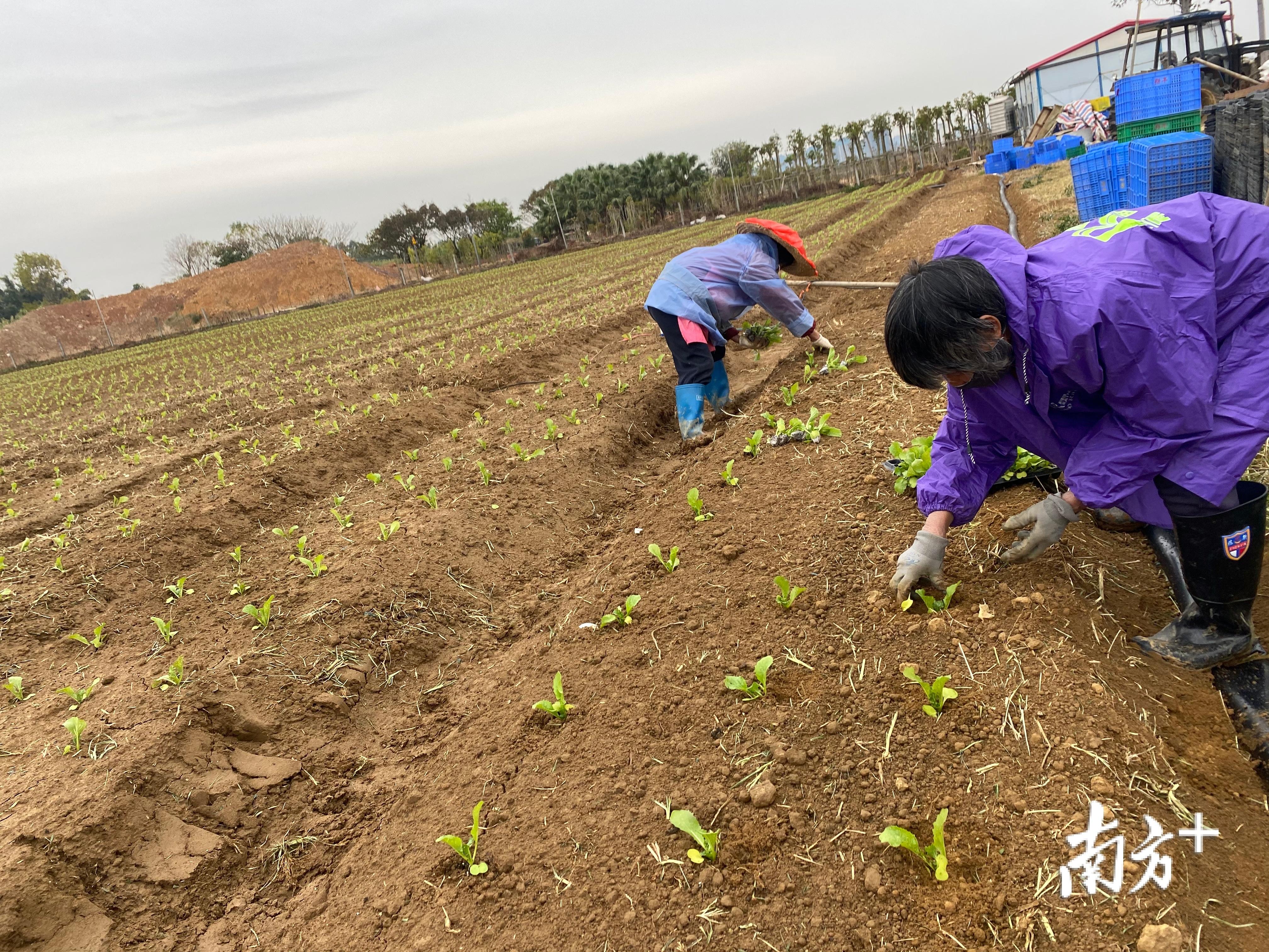 一些农场已经开始改种工作。