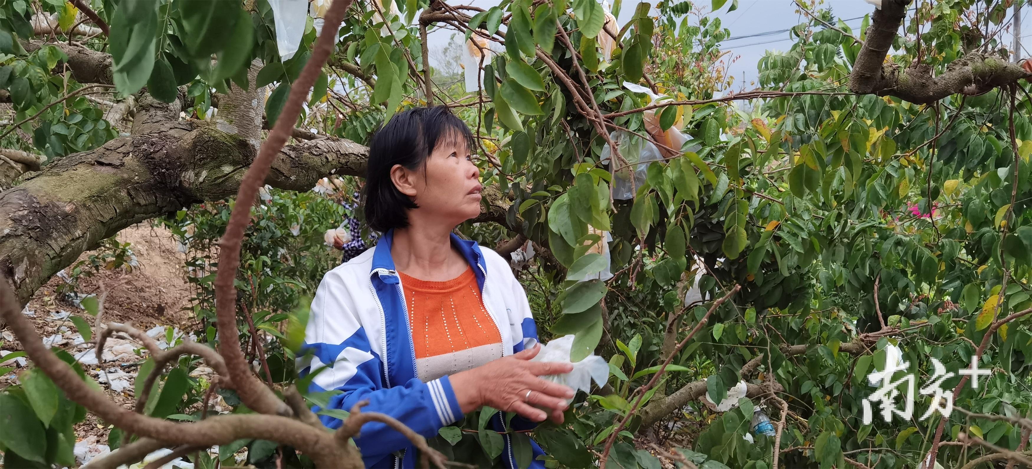 莲塘口村的黄梅娟正在自家果园摘阳桃。