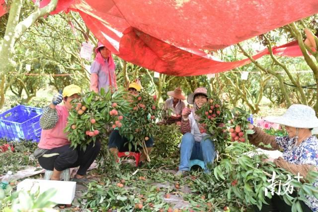 湛川村农户正在果园采摘最后几批荔枝