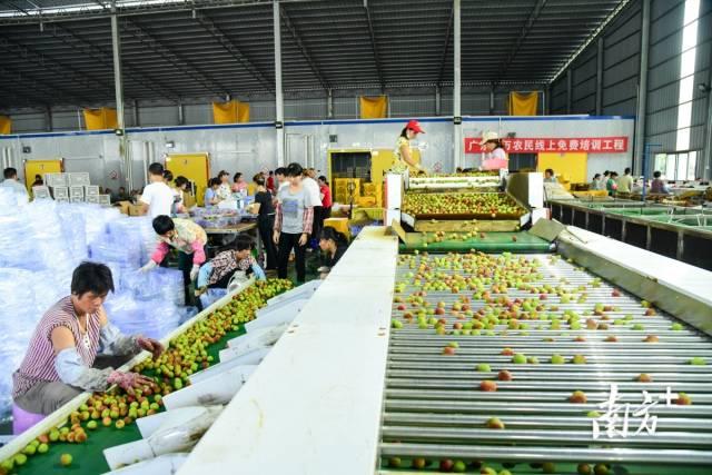 铭景农业公司水果分拣场,集冷库贮藏、机械选果、分选包装、冷链运输等于一体
