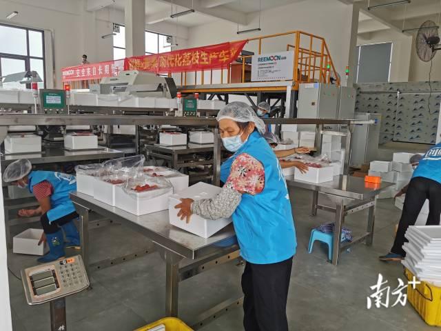 端午期间,增城荔枝龙头企业急招包装工,以应对销售热潮。