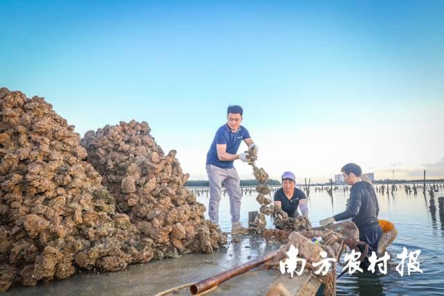 作为一名生蚝经销商,陈志文经常下到蚝排亲自挑选生蚝,确保品质。