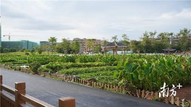 横沥山厦村的小菜园