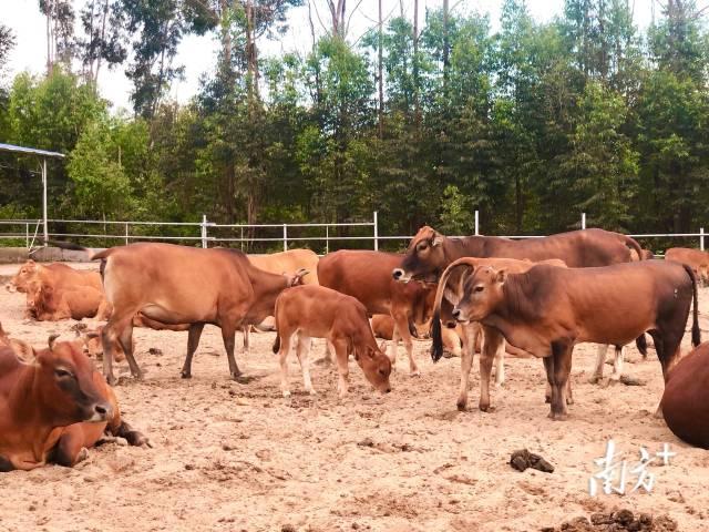 陆丰黄牛繁育基地