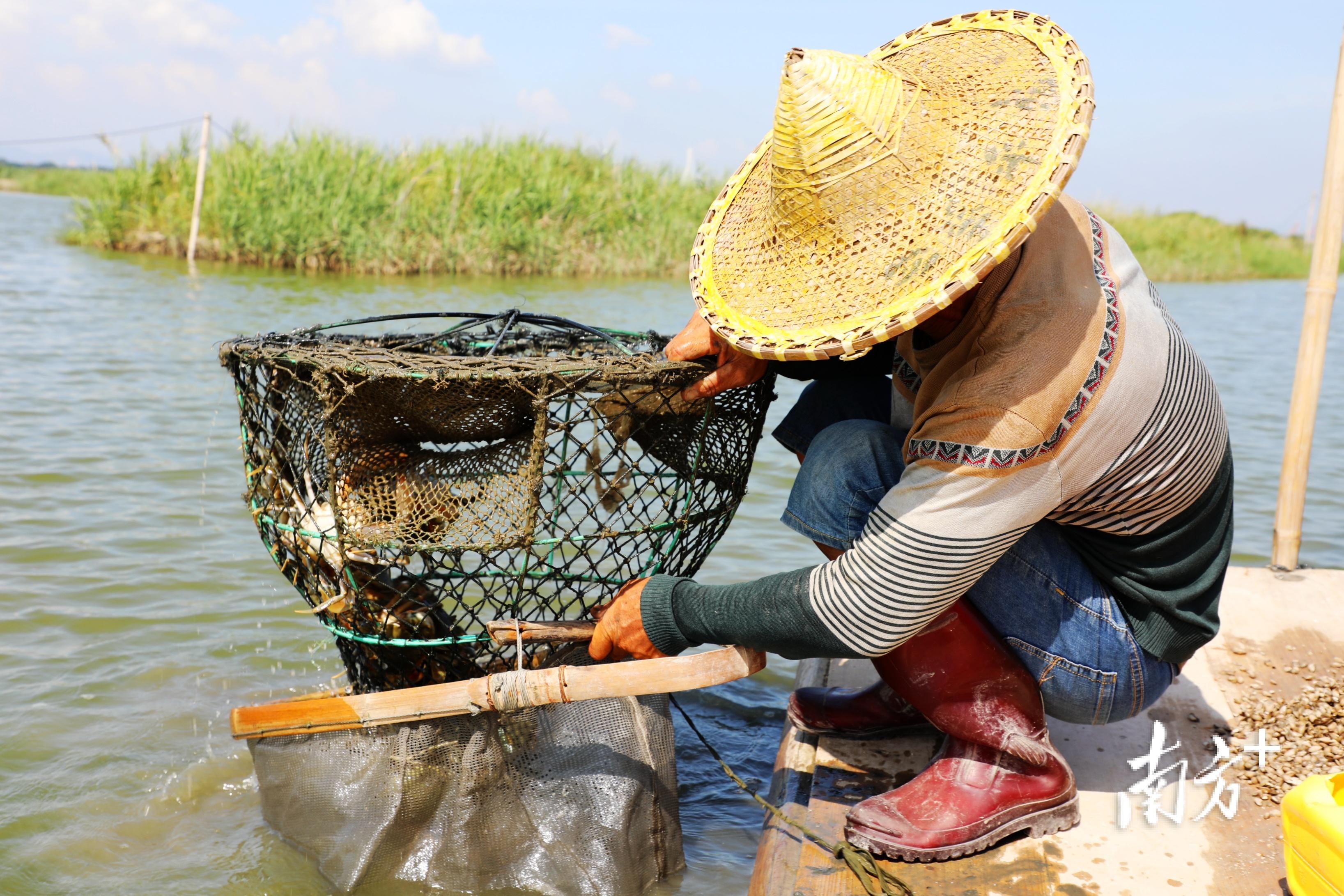 林惠庆麻利地捞起养殖笼,一只只鲜活生猛的青蟹在渔网中爬动。  南方+ 张伟炜 拍摄