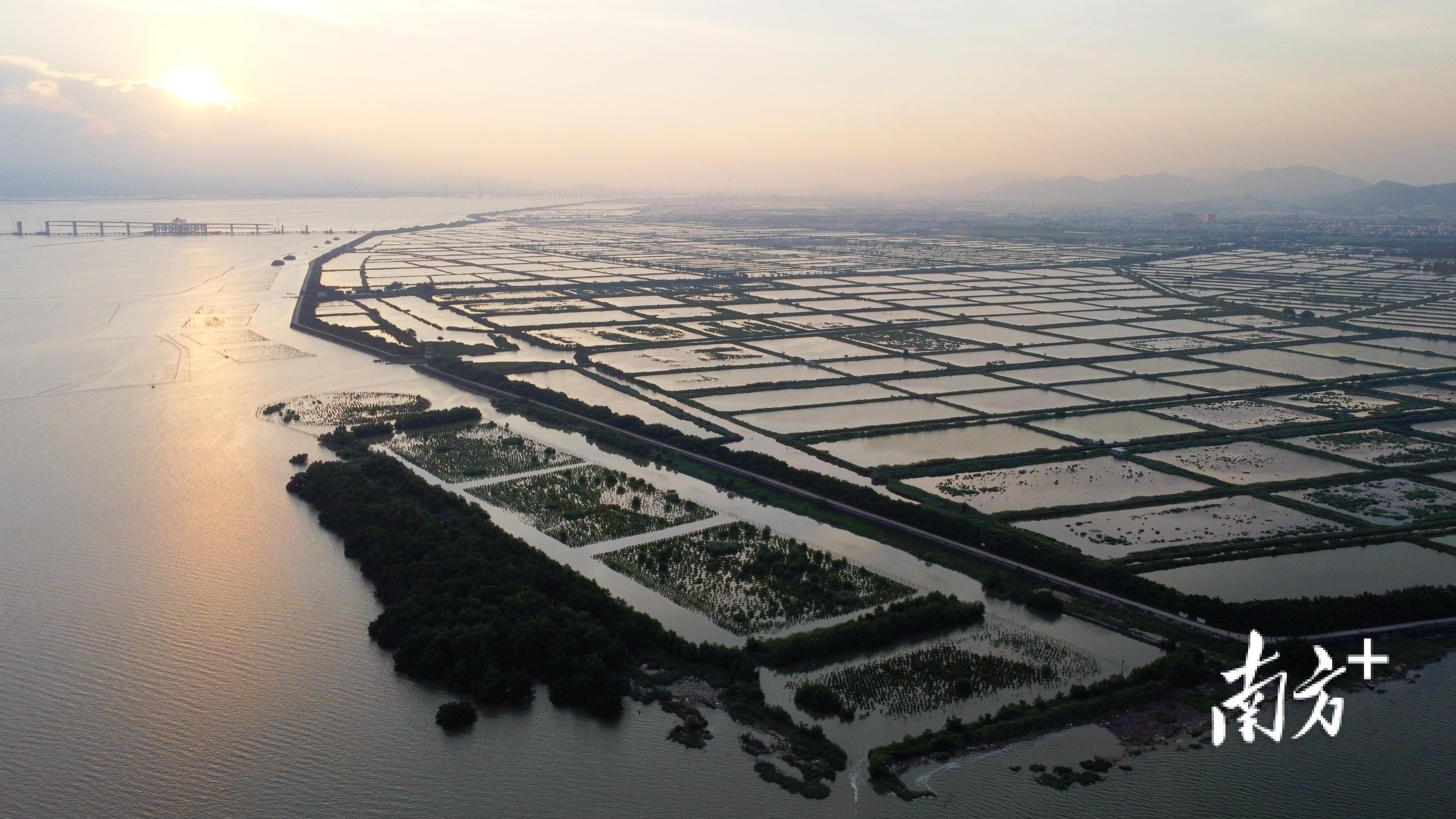 牛田洋位于汕头市榕江、韩江出海口,咸淡交界的独特水域环境是最适宜青蟹繁育生长的地方。  南方+ 张伟炜 拍摄