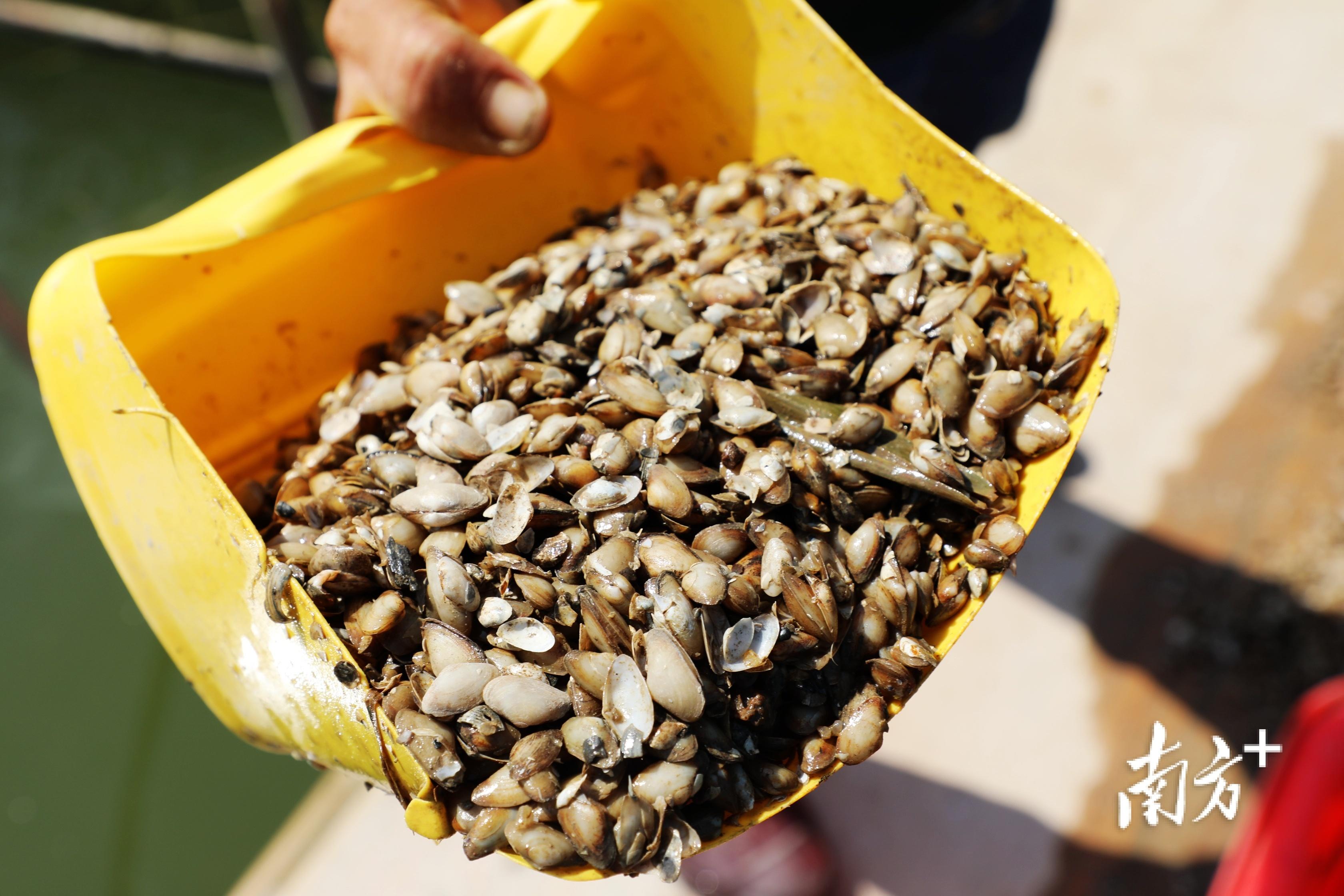 牛田洋青蟹所吃的饵料是一种名叫红肉蓝蛤的小型贝类。  南方+ 张伟炜 拍摄