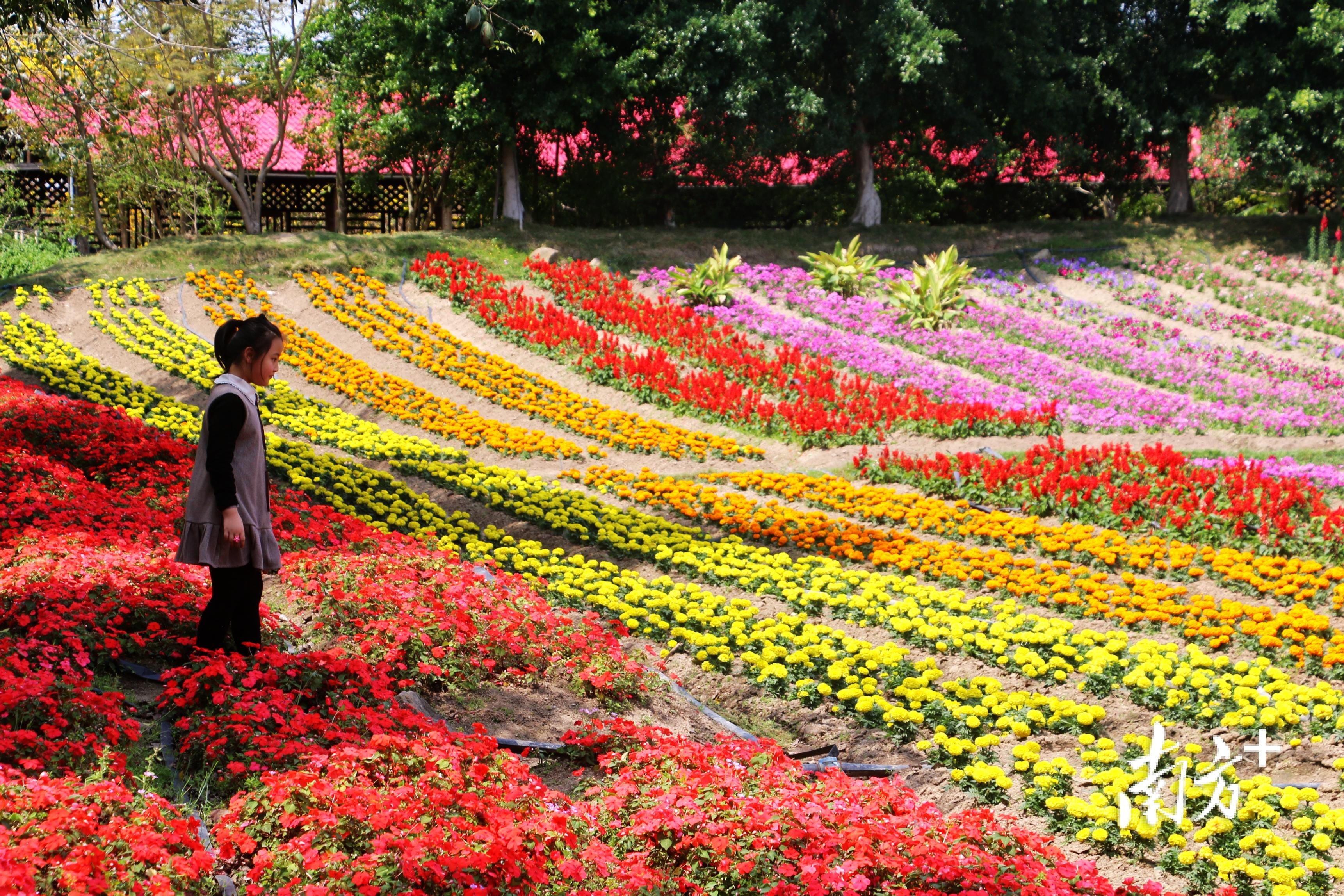 在濠江丹樱生态园,可以尽情享受大自然的美,感受百亩浪漫花海以及各种游玩项目。  南方+ 张伟炜 拍摄