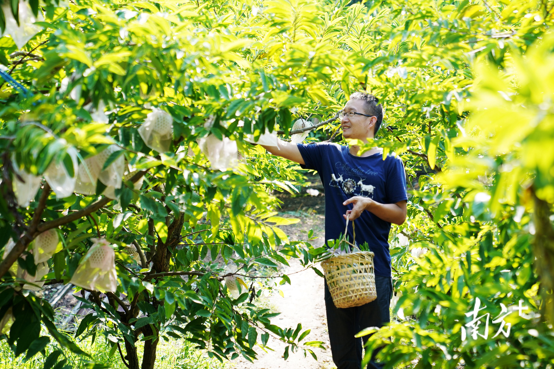 金秋时节,正是澄海林檎大量成熟上市的时候,澄海樟林林檎一直享誉海内外。 陈琦 摄