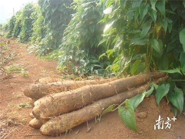 高州淮山薯