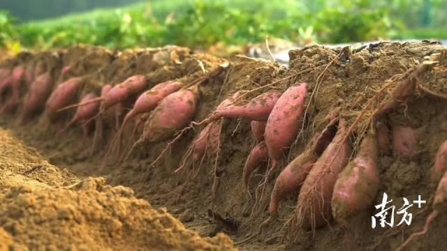 广宁潭布番薯