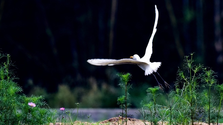 是什么引来白鹭和大雁到这里栖息?|韶关始兴水南村